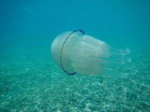 Non togliete queste meduse dal mare, non sono pericolose!