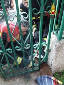 Catanzaro Lido – Liberato dai Vigili del Fuoco cagnolino incastrato in un cancello