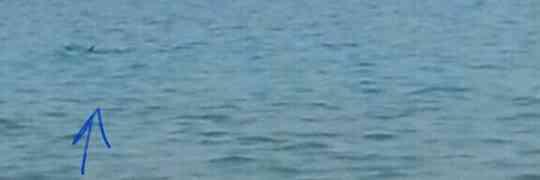 Avvistato un piccolo squalo nei pressi di Pietragrande