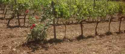La signora del vino calabrese che fa incetta di premi all'estero