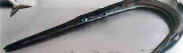Specie aliene del mare, pesce flauto pescato nel mar Ionio