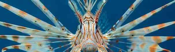 Avvistato nelle acque italiane il pesce scorpione, scatta l'allarme