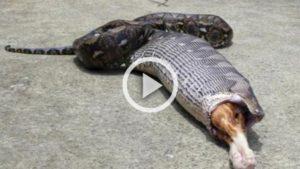 VIDEO | Arriva a casa e scopre che il suo gatto è stato ingoiato da un grosso pitone