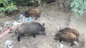 Caldo, rifiuti in fiamme e cinghiali: le tre emergenze da fronteggiare a Soverato