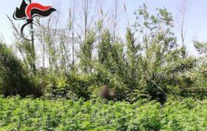 Scoperta e sequestrata una piantagione con 2.750 fusti di marijuana, due arresti