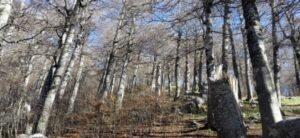 Scoperti in Calabria i due faggi più antichi d'Europa, hanno oltre 620 anni