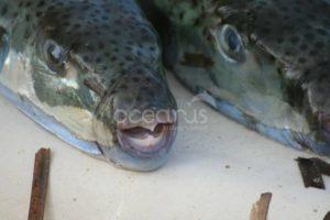 Questo pesce è mortale e sta invadendo il Mediterraneo