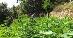 """Scoperta dalla Gdf una piantagione di cannabis del tipo """"skunk"""", valore di svariati milioni di euro"""