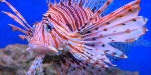 Il Pesce Scorpione che minaccia la biodiversità nel Mediterraneo è arrivato nelle acque italiane